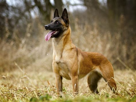 malinois breed belgian malinois puppy for sale airtails
