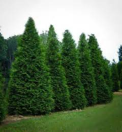buy tree thuja green buy arborvitae trees