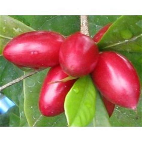 amazon berries amazon com 15 miracle fruit seeds synsepalum dulcificum