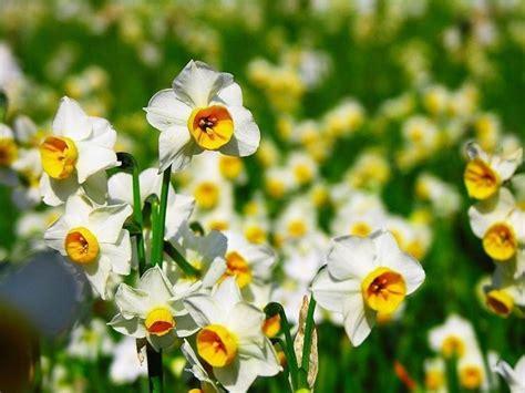 narciso fiore narciso tazetta narcissus narcissus bulbi narciso