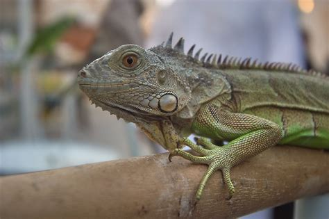 photo 832 04 pet iguana for sale in souq waqif doha qatar