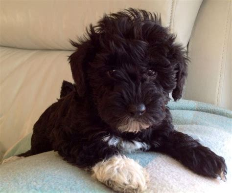 yorkie schnoodle 1000 ideas about hypoallergenic puppies on bichon frise king charles and