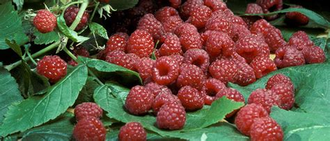Teh Raspberry raspberries for the home garden yard and garden of minnesota extension