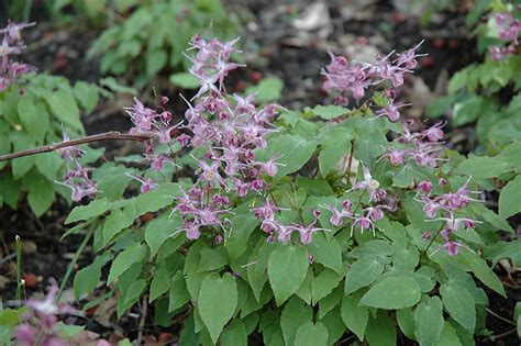 Chalet Designs by Lilafee Bishop S Hat Epimedium Grandiflorum Lilafee In