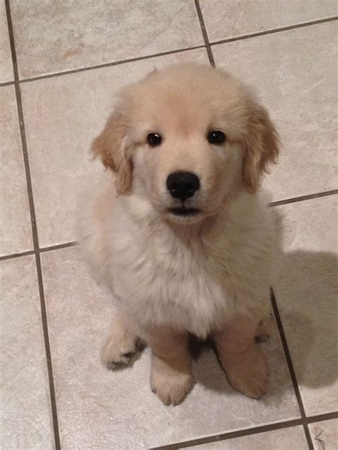 6 week golden retriever 10 week golden retriever america s favorite breed pintere