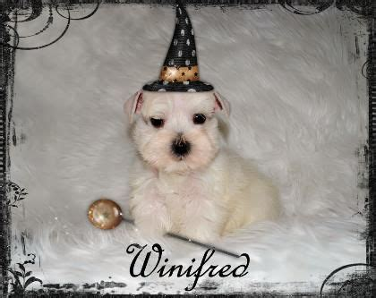 puppies for sale in southern california 1000 images about schnauzer on arizona schnauzer puppy and