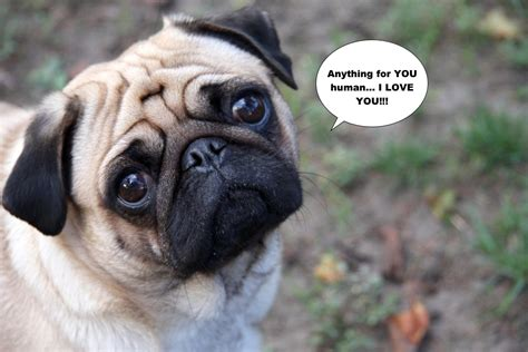 how smart are pugs top 15 smartest breeds amazing doggies