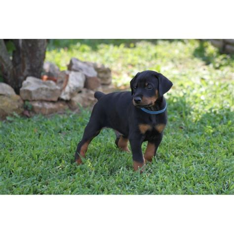 doberman puppies for sale michigan doberman pinscher puppies for sale pup available breeds picture