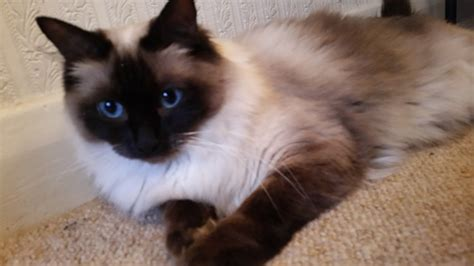ragdoll cats for sale ragdoll cat for sale chesterfield derbyshire pets4homes