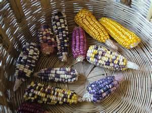 colors of corn maize corn neh summer institute for school teachers