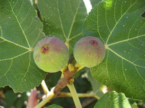 fruiting fig tree fruit fig tree fruit mix