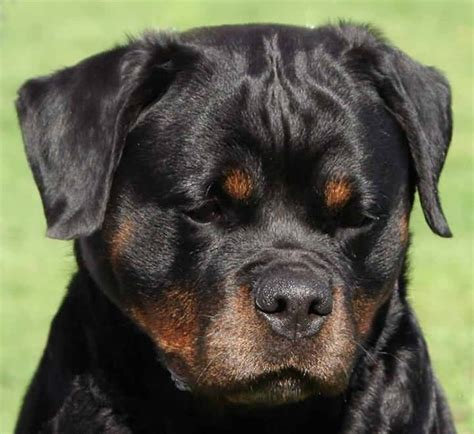 rottweiler puppies for sale in hton roads big german rottweiler wallpaper