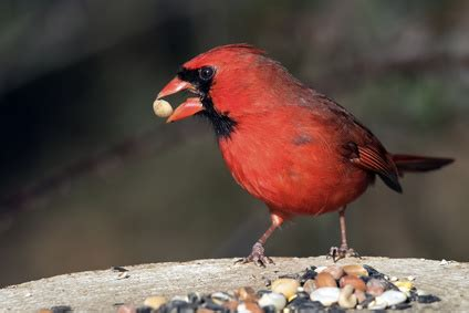what do cardinals eat how these awesome red birds survive