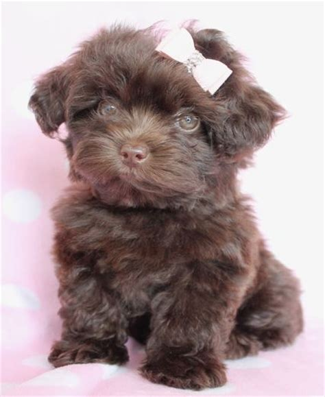 yorkie poo puppies for sale the world s catalog of ideas