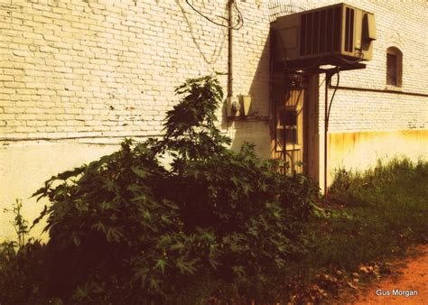 Castor bean plant in back alley smithville texas march 2012