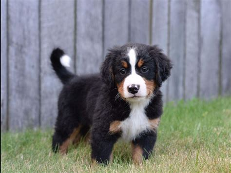 bernese mountain puppies ohio berners of ohio bernese mountain puppies for sale