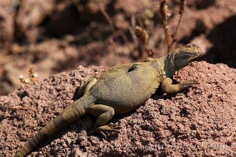 Do Lizards Shed by In The Desert Chuckwalla Lizards Reptiles Chuckwalla