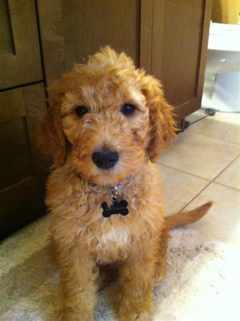 goldendoodle puppy checklist goldendoodle all things the of my