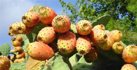 fiori di fichidindia fichi d india coltivazione e caratteristiche