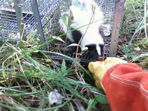Getting Rid Of Skunks Shed by Skunk Removal Wildlife Connecticut Skunk