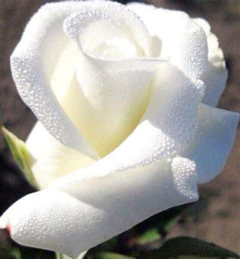 imagenes de wasap de flores imagen de una hermosa rosa blanca para whatsapp