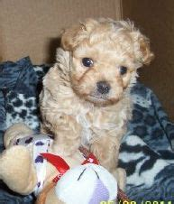 maltipoo puppies michigan maltipoo breeders maltipoo puppies for sale indiana michigan ohio illinois