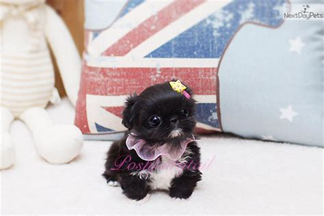 teacup pekingese puppies for sale yazmin pekingese puppy for sale near los angeles california e6a4c9e1 ac91