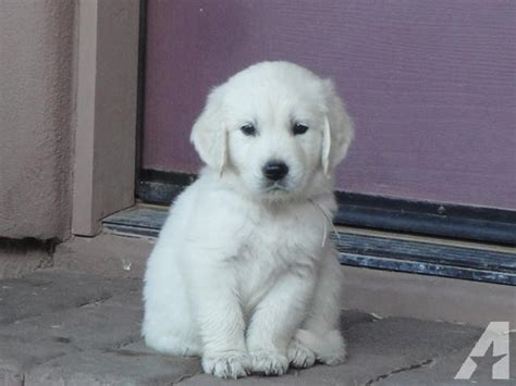 golden retrievers for sale in arizona golden retrievers creme for sale in mesa arizona classified americanlisted