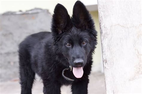black german shepherd black shepherd puppy www pixshark com images galleries