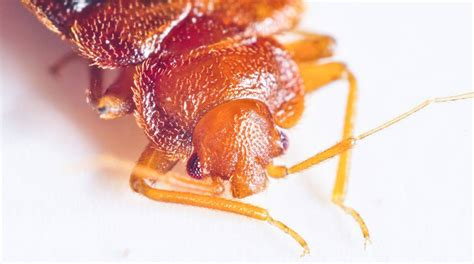 exterminator for bed bugs exterminator for bed bugs 28 images bed bug pest control and tips to prevent bed