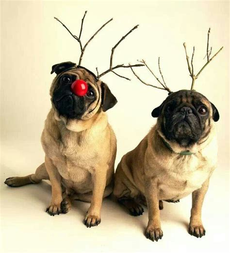 do pugs bark 17 best images about merry pugmas on pugs merry and