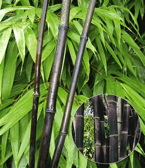 badur garten pin bambus on