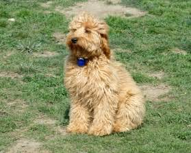 mini wheaten doodle mini goldendoodle grown what size is your mini