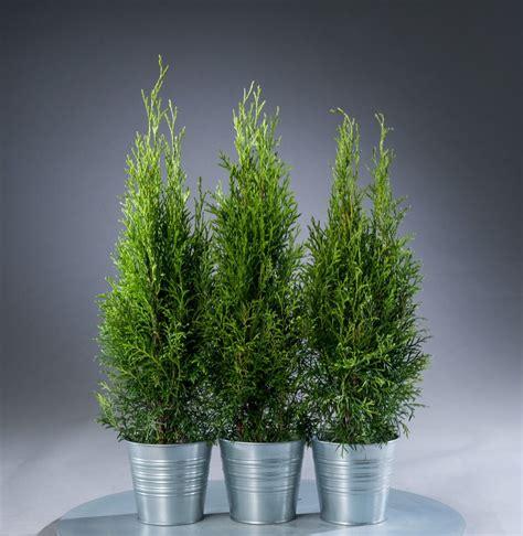 Smaragd Kaufen by Lebensbaum Smaragd Thuja Occidentalis Smaragd G 252 Nstig
