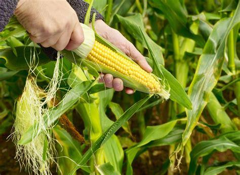 backyard corn how to grow corn in your garden