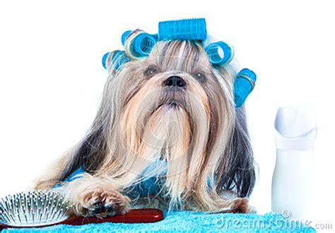 comb for shih tzu shih tzu after washing stock photo image 82547647