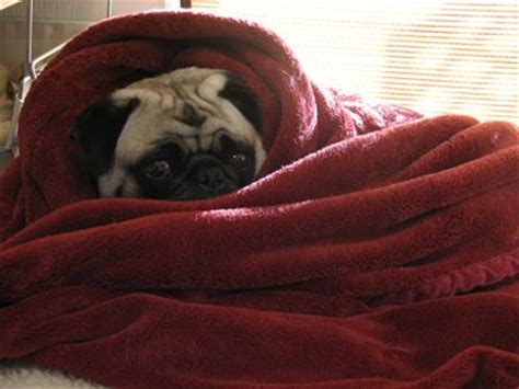 pug in blanket 17 best images about pugs in a blanket on physical therapy beds and stay