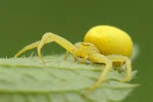 yellow spider by bogdanch on deviantart
