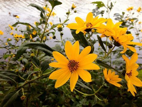 fiore topinambur erbe spontanee il topinambur l ultimo fiore dell estate
