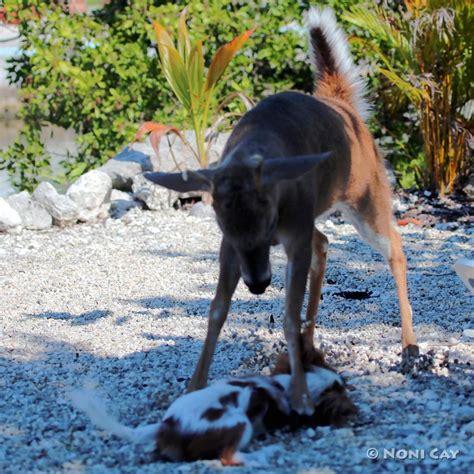 deer attacks when deer attack whackstar hunters