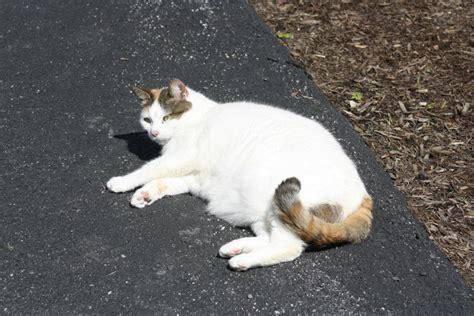 van pattern cat definition cat coats the van pattern