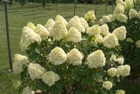 schneeball wann schneiden hortensien hortensie pflanzen pflegen d 252 ngen