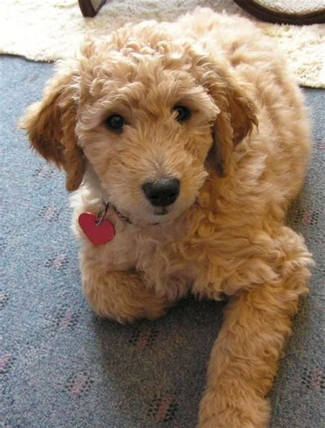 goldendoodle puppy coat wanted curly wavy coat goldendoodle glasgow