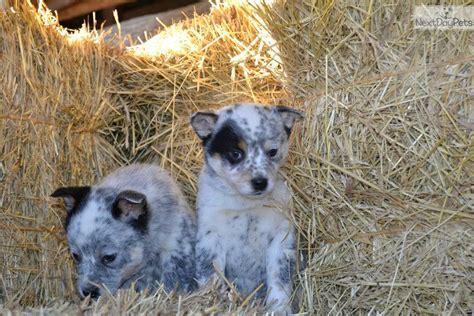 blue heeler puppy names meet a australian cattle blue heeler puppy for sale for 450 blue heeler