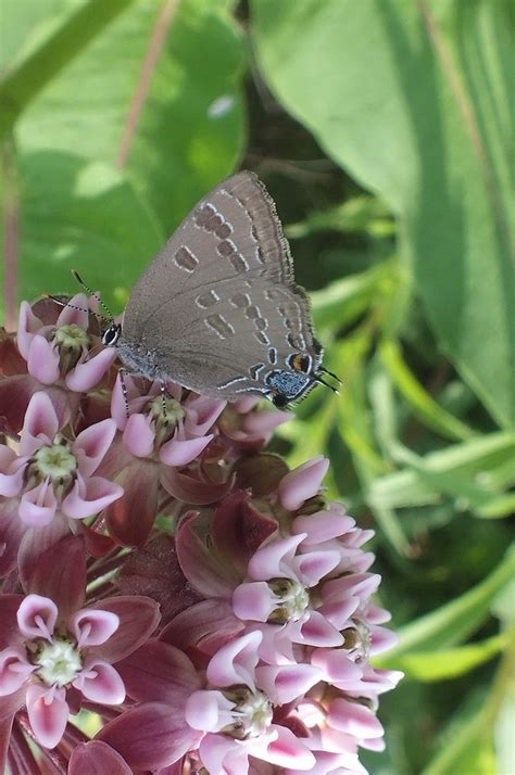 thompson florist a hickory hairstreak butterfly at tommy thompson park in