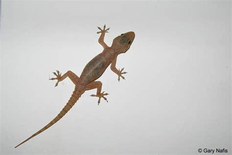 house gecko house gecko hemidactylus sp