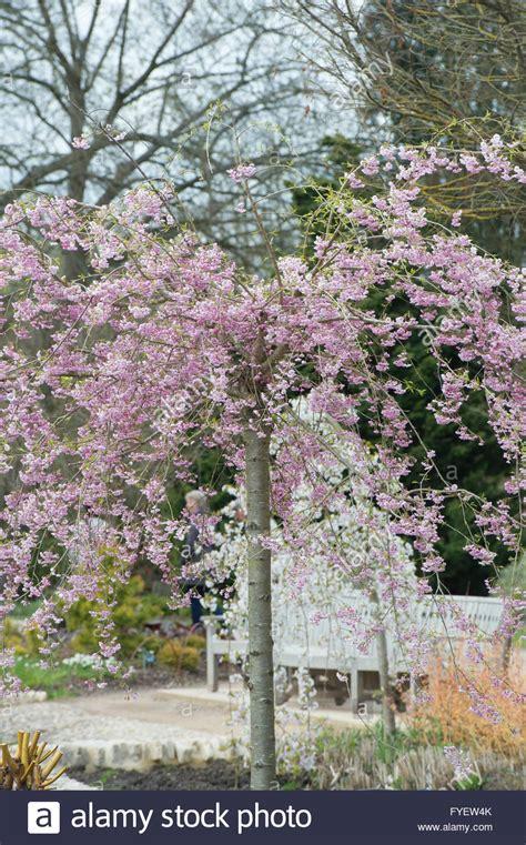 cherry blossom tree zone 5 prunus subhirtella pendula plena rosea weeping cherry tree with stock photo 102974611 alamy