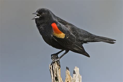 red winged blackbird redorbit