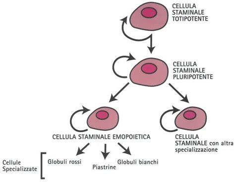 cellule staminali adoces treviso le speranze della ricerca