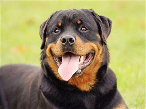 rottweiler hypoallergenic سگهای ژرمن شپرد برترین نژادهای دنیا به ترتیب